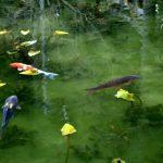 日本で見れるまるで絵画の様な池。モネの池